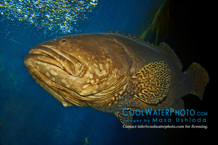 giant grouper, Epinephelus lanceolatus, could grow to more than 9 ft (2.8 m) and weigh over 900 lb (400 kg), threatened species due to over fishing, Indo-Pacific Ocean (c)