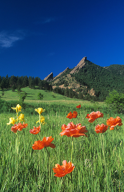Iris and Oriental Poppies Wildflowers, Flatirons Mountains, Boulder, Colorado