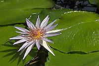 Blaue Ägyptische Seerose, Blaue Ägyptische Lotusblume, Blauer Ägyptischer Lotus, Nymphaea caerulea, syn. Nymphaea nouchali var. caerulea, Blue Egyptian Lotus, Schwimmblatt-Pflanze, Schwimmblattpflanze,  Schwimmblatt - Pflanze