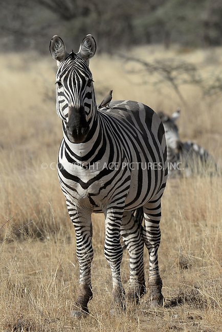 WWW.ACEPIXS.COM<br /> March 1, 2016 New York City<br /> <br /> Zebras seen in the Samburu National Reserve located on the banks of the Ewaso Ng'iro river on March 1, 2016 in Kenya.<br /> <br /> Credit: Kristin Callahan<br /> web: http://www.acepixs.com