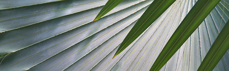 Close up of leaves of Bizmarkia Palm. St John, Virgin Islands