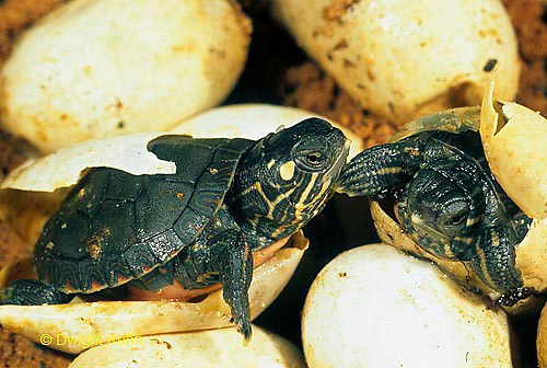 1R13-020z  Painted Turtles hatching from eggs Chrysemys picta..