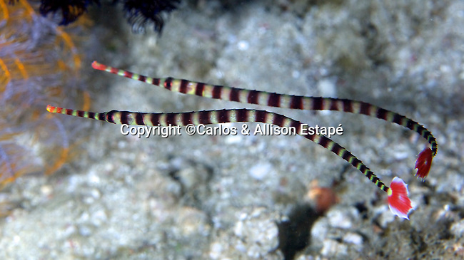 Doryrhamphus dactyliophorus, Ringed pipefish, Indonesia Dunckerocampus dactyliophorus, Ringed pipefish, Indonesia