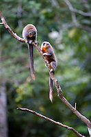 Parauapebas_PA, Brasil..Casal de Saua (Callicebus personatus) na Floresta Nacional de Carajas, Para...Couple of Masked Titi (Callicebus personatus) in the Carajas National Forest, Para...Foto: JOAO MARCOS ROSA / NITRO