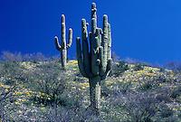 Springtime flowers carpet the desert floor beneath Saguaro Cacti (Cereus gigantes)with a deep blue sky lending contrast above. Sonoran Desert, Arizona.