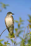 KINGBIRD; eastern kingbird