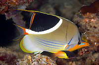 Saddled butterflyfish (chaetodon ephippium) in a hole in the reef, Christine's reef, Walindi, Kimbe bay, Bismark sea, Pacific ocean, Papua New Guinea, Asia