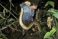 Biologist lifting anaconda; Eunectes murinus; Ecuador; Sucumbios; Amazon Basin