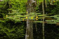 ROCK POND, Pharoah Lake Wilderness Area, Adirondack Forest Preserve, New York<br /> June