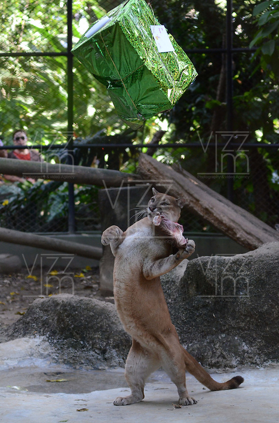 MEDELLÍN - COLOMBIA, 10-01-2015. Un Puma de alcanzar una caja de regalo que contiene su comida preferida. Este fue el evento con el cual el Zoológico de Medellín quizó celebrar la llegada de los reyes magos./ A Puma tries to achieve a gift box containing his favorite food. This was the event which Medellín Zoo Did you celebrate the arrival of the Three Kings. Photo: VizzorImage/Luis Rios/STR