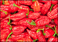 BNPS.co.uk (01202 558833)<br /> LauraJones/BNPS<br /> <br /> Red hot record...<br /> <br /> Tree of fire turns into pot of gold - Dorset Chilli farmer Joy Michaud is hoping she has set a new world record after collecting an astonshing 2407 chilli's from one bush at the weekend.<br /> <br /> Dorset Naga chilli's.<br /> <br /> Its been a bumper year for chilli's and farmer Joy Michaud has grown a 'tree of fire' with over two thousand of the worlds hottest on it.<br /> <br /> The average chilli 's heat is measured at 30,000 scovell's but the legendary Dorset Naga has been measured at 1.2 million scovel's.<br /> <br /> With that in mind great care has to be taken when handling the explosive crop.<br /> <br /> Joy said 'growing conditions have been perfect this year and  I have never seen a chilli tree this big before, its astonishing.'