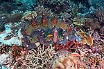 Coral reef, Batu Cantik, Indonesia