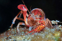 red swamp crawfish, red swamp crayfish, Louisiana crawfish, Louisiana crayfish, or mudbug, Procambarus clarkii, San Solomon Springs, Balmorhea State Park, Balmorhea, Texas, USA