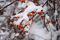 Wisconsin berries in snow storm