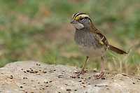Crisp facial markings make the White-throated Sparrow an attractive bird as well as a hopping, flying anatomy lesson. There's the black eyestripe, the white crown and supercilium, the yellow lores, the white throat bordered by a black whisker, or malar stripe.