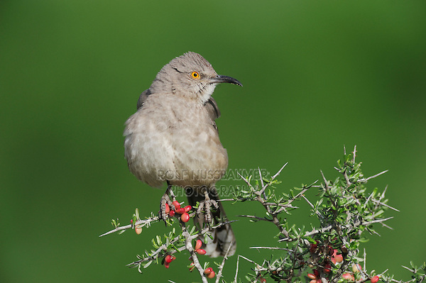 Curve-billed Thrasher (Toxostoma curvirostre), adult perched, Laredo, Webb County, South Texas, USA