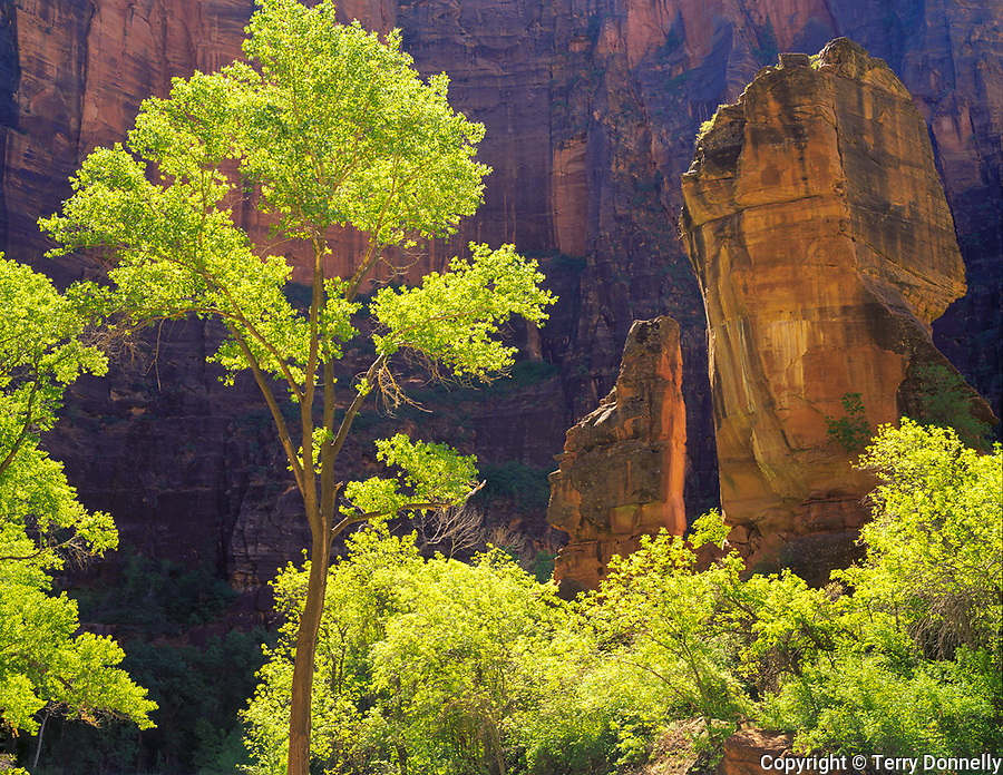 Zion National Park, UT<br /> Backlit green cottonwoods in the Temple of Sinawava along side the Pulpit