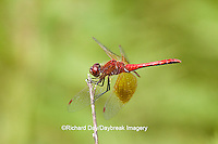 06664-001.16 Band-winged Meadowhawk (Sympetrum semicinctum) male perched near wetland, DuPage Co., IL