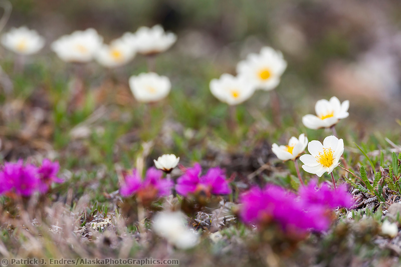 Mountain aven and lapland rosebay wildflowers, Utukok Uplands, National Petroleum Reserve Alaska, Arctic, Alaska.
