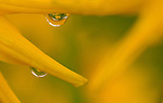 dew drop on sunflower