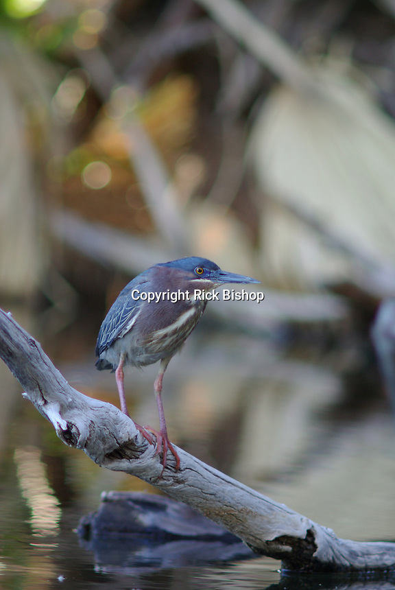 Green Heron rests on a fallen  tree branch were it feeds on small fish.