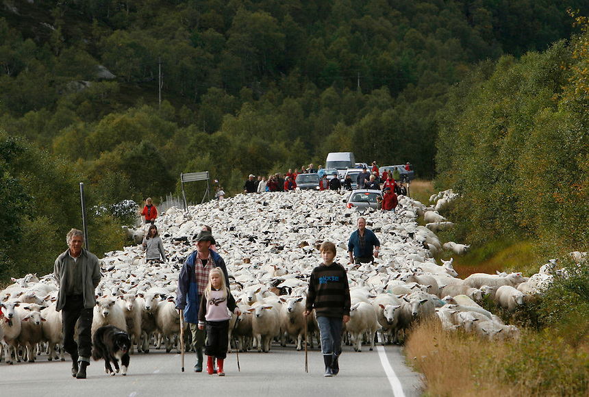 Just outside Kraeven in southwest Norway,  4,500 sheep  are brought to town after a summer in the mountains, Friday, Sept 7, 2007.