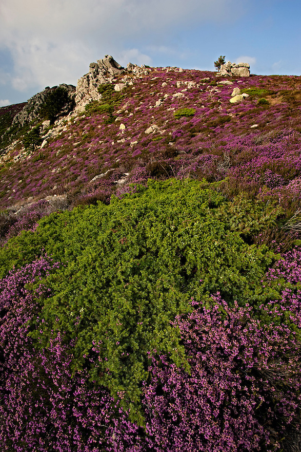 Heather in rocky landscape/Parc naturel regional du Haut-Languedoc/Caroux/France