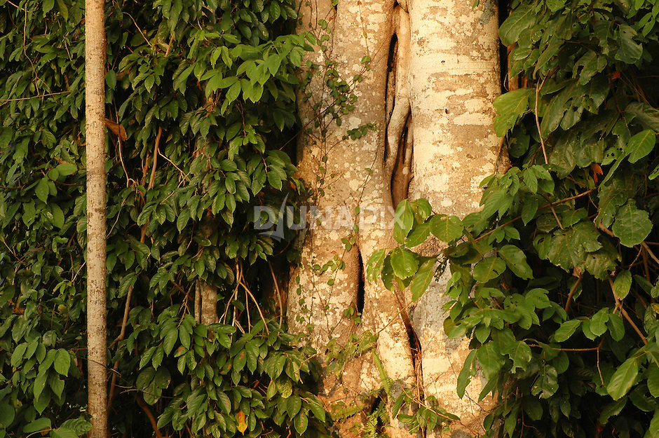Strangler fig root detail, Sangkulirang, East Kalimantan, Borneo. While known for viciously outcompeting their host trees, figs provide a vital source of food for rainforest birds, insects and mammals.