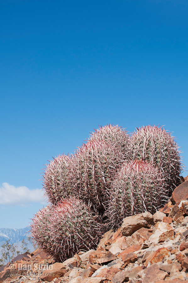 Cottontop cactus, Echinocactus polycephalus, in the Inyo Mountains near Keeler, California