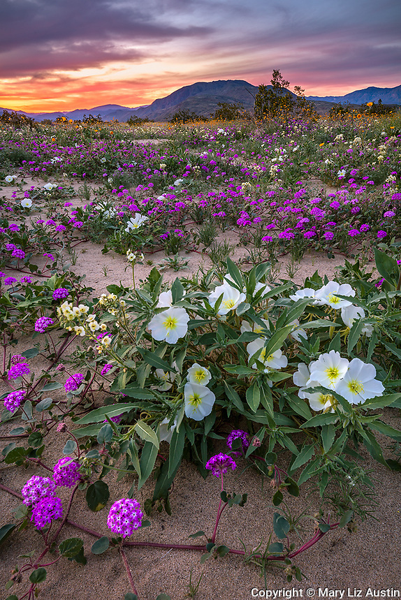 Anza-Borrego Desert State Park:  A field of desert wildflowers featuring dune evening primrose (Oenothera deltoides), desert sand verbena (Abronia villosa), brown-eyed primrose (Camissonia claviformis) and desert sunflower (Geraea canescens) in Borrego Valley at sunset