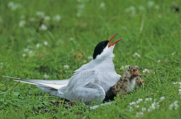 Arctic Tern, Sterna paradisaea, adult on nest with young, Nesseby, Norway, Europe