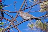 White-Wing Dove, San Ignacio, Baja Sur, Mexico
