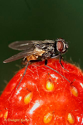 1H01-035a  House Fly - adult on strawberry - Musca domestica