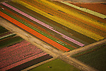 Tulips in bloom create a coloful pattern, Skagit Valley, Washington.
