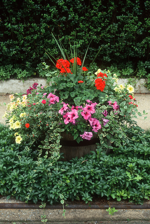 Container garden by street and sidewalk Planter pot of annual petunias in yellow and pink, Pelargonium annual red Geraniums, spike Dracaena, variegated Vinca minor Argentovariegata, inset into pachysandra. Half barrel planter