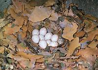 Kleiber, Ei, Eier, Gelege im Nest, in Bruthöhle, Spechtmeise, Sitta europaea, Eurasian nuthatch