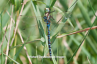 06347-001.13 Lance-tipped Darner (Aeshna constricta) male in grass,  McHenry Co,. IL