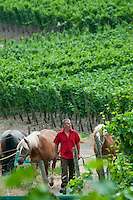 Mayschoss, Rheinland Pfalz, Germany, July 2010. Mr Josten of the Weingut Mönchberger Hof winery takes us on a tour of the vineyards with a horse drawn cart.  Mayschoß is a municipality in the district of Ahrweiler, in Rhineland-Palatinate. In the village 59 wineries operate, the area under vines is 101 hectares. About 74 percent of the cultivated wine is red wine grapes, especially Pinot.  The fertile river valleys and the rolling hills form the basis for some of Germany's best wines.  Photo by Frits Meyst / Adventure4ever.com