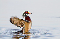00715-08419 Wood Duck (Aix sponsa) male flapping wings in wetland, Marion Co., IL