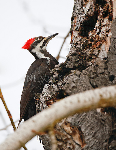 A Pileated Woodpecker feeds at an old dead cottonwood tree in Montana