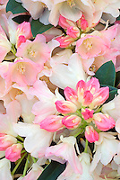 Rhododendron 'Dreamland' in bud and flowers, Yakushima pink hybrid