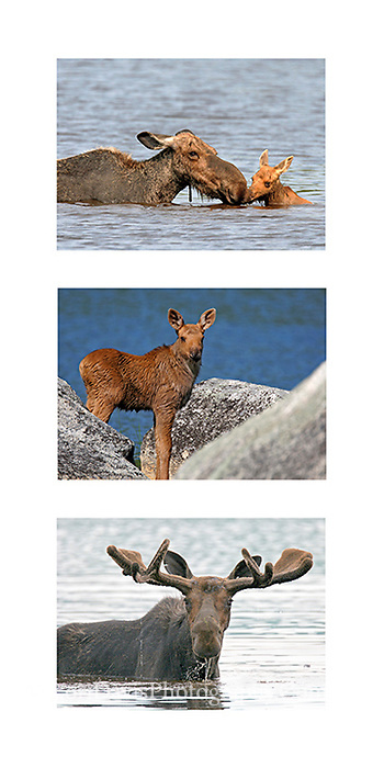 Moose Collage