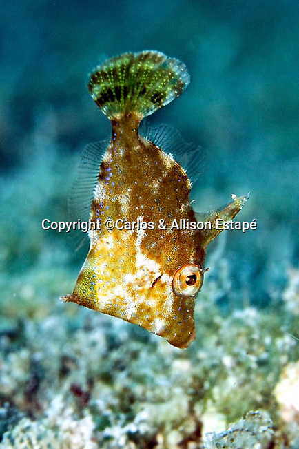 Monacanthus ciliatus, Fringed filefish, juvenile, Florida Keys