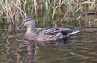 Mallard duck at Balmaha, on Loch Lomond.