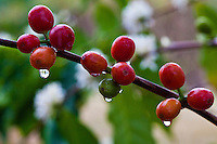 Rain-drenched coffee cherries at a coffee plantation on Kona, Big Island