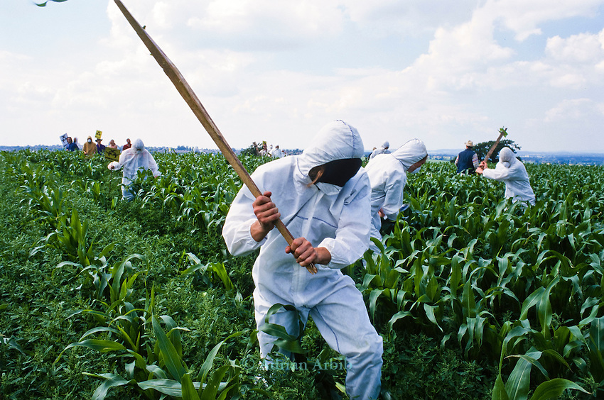 A demonstrator batters down a field of GM test maize  at an  Anti GM  protest in Bridport,  Dorset