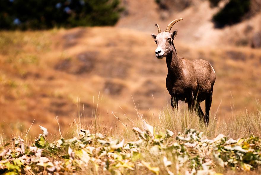 A big horn sheep is seen on Wild Horse Island on Flathead Lake near Polson, Montana.