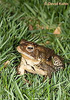 0304-0923  American Toad on Grass in Backyard, © David Kuhn/Dwight Kuhn Photography, Anaxyrus americanus, formerly Bufo americanus