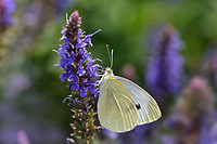 Cabbage White Butterfly, Pieris rapae, Louisville, Kentucky