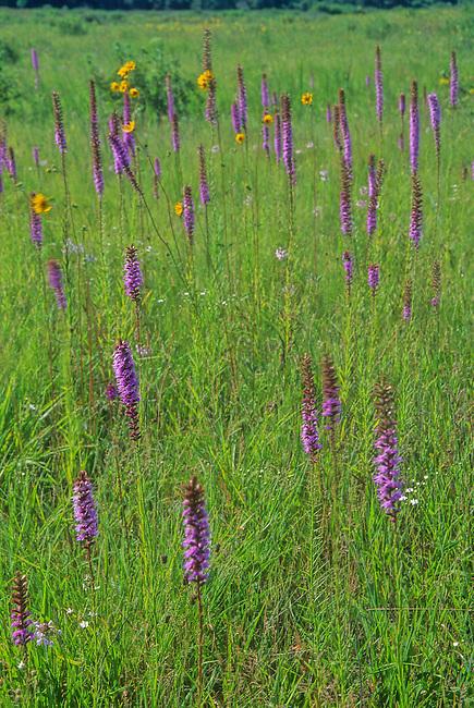 Blazing Stars flower in the prairie at Chiwaukee Prairie Nature Conservancy, Kenosha County, Wisconsin